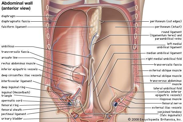 Lower right abdomen anatomy