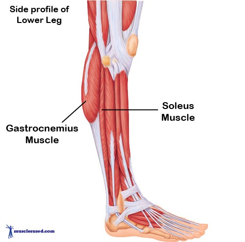 The Gastrocnemius And Soleus Make Up What Muscle Group 55