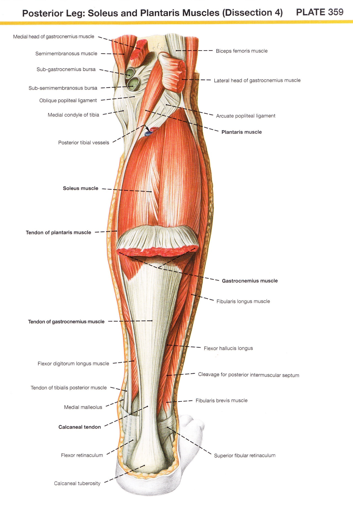 Anatomy Angel: Soleus – Dr. Dooley Noted