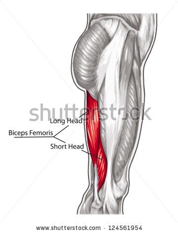 Pistols 101 Full moreover Design Ideas moreover Growth chambers moreover 83959985724 further Anatomy Angel Short Head Biceps Femoris. on long fire