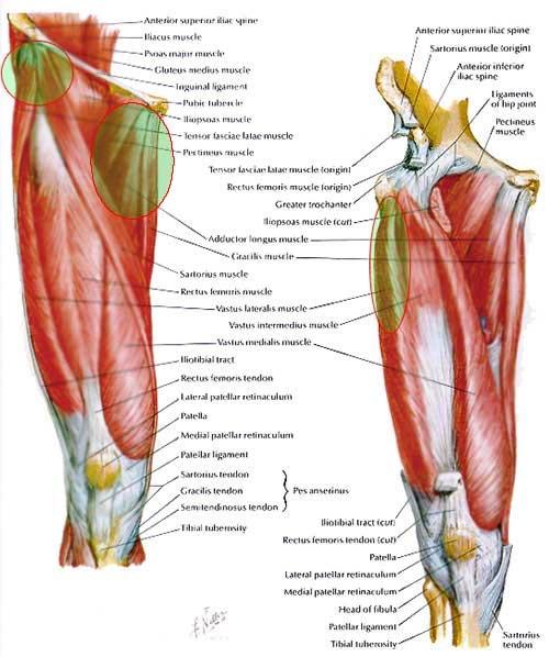 Anatomy Angel: Rectus Femoris – Dr. Dooley Noted