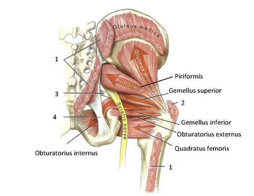 Anatomy Angel: Obturator Externus – Dr. Dooley Noted