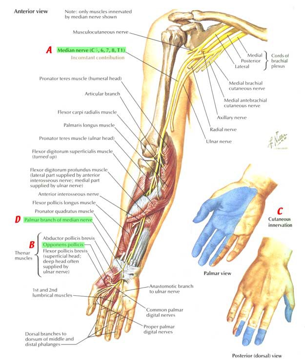 Images Of Ulnar Nerve Anatomy Spacehero