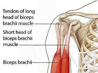 anatomy angel: long head biceps brachii – dr. dooley noted, Human Body